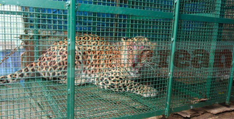 leopard-trapped-hiriyadka-20160728-02