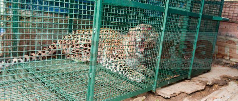 leopard-trapped-hiriyadka-20160728-03