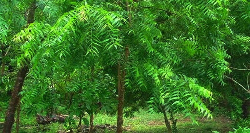 neem-saplings-20160727