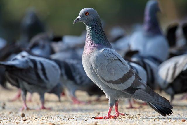 pigeons-20160919