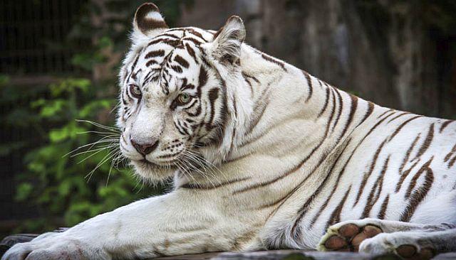 white-tiger-20160928