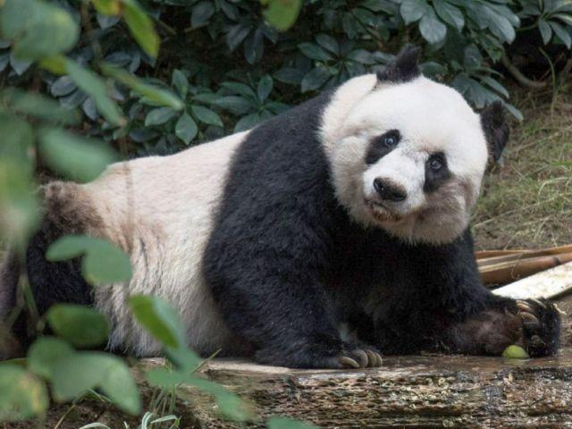giant-panda-dead
