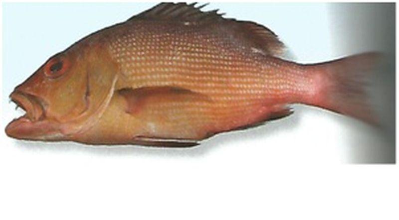 kemberi-fish-1