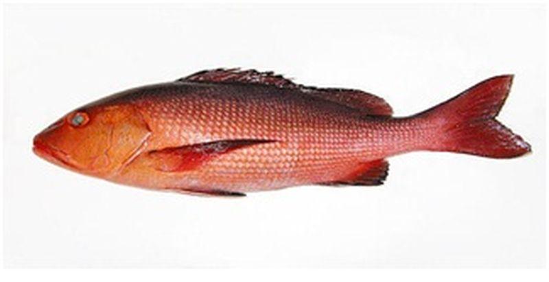 kemberi-fish
