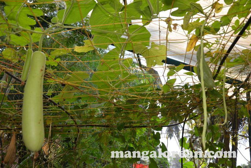 image006blany-dsouza-jack-fruit-terrace-garden-mangalorean-com-20161222-006