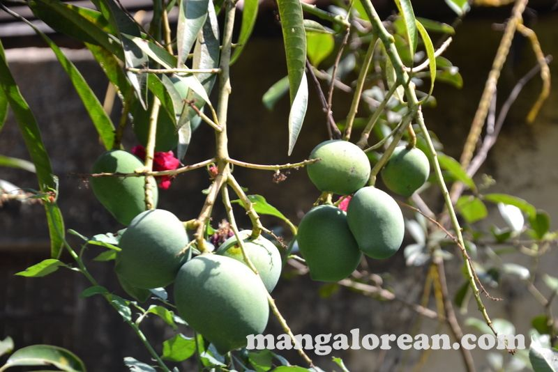 image015blany-dsouza-jack-fruit-terrace-garden-mangalorean-com-20161222-015